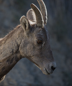 Bighorn Sheep Portrait III