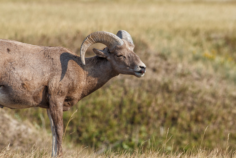 Bighorn Sheep, Badlands National Park