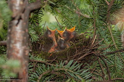 Bicknell's Thrush chicks begging. Mt. Mansfield, VT