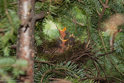 Bicknell's Thrush nest