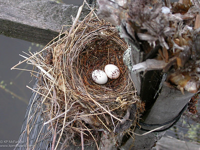 Eastern Kingbird nest