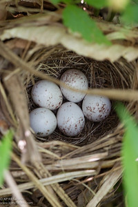 Common Yellowthroat nest