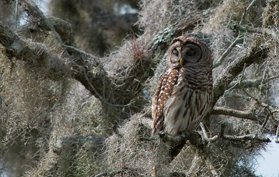 Barred Owl 06