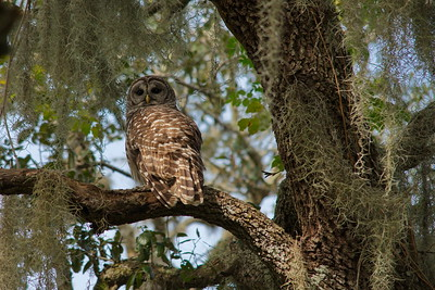 Barred Owl 05