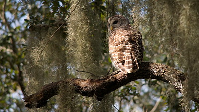 Barred Owl 04