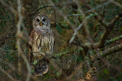 Barred Owl 07