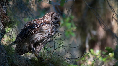 Barred Owl 20