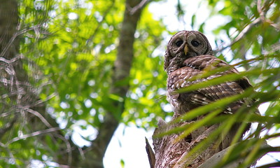 Barred Owl 17