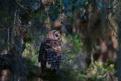 Barred Owl 19