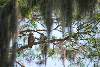 Barred Owl 02