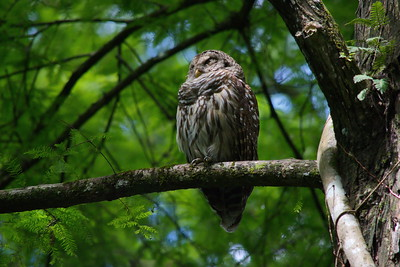 Barred Owl 12