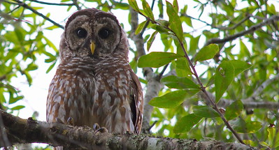 Barred Owl 13