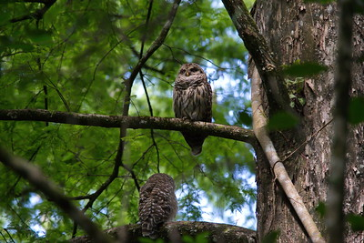 Barred Owl 11
