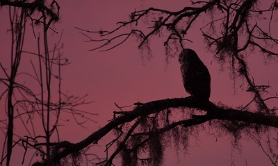 Barred Owl 09
