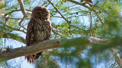 Barred Owl 03