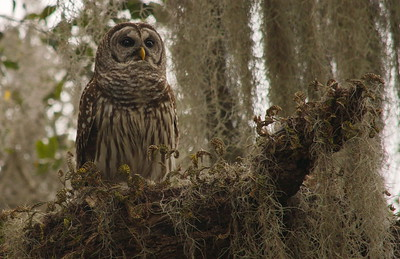 Barred Owl 15