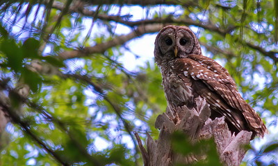 Barred Owl 18