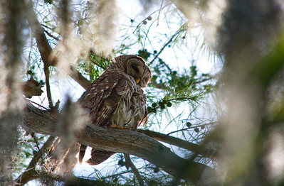Barred Owl 01