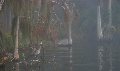 Great Blue Heron 15