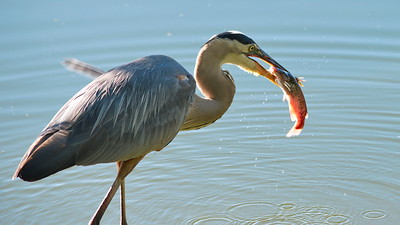 Great Blue Heron 16