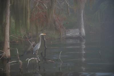 Great Blue Heron 14