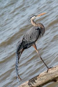 Virginia-Birds-24-27-March-2017-1282