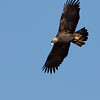 Golden Eagle Soaring