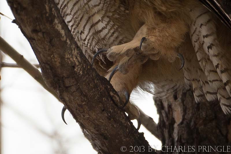 Talons - Male Great Horned Owl