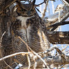The female Great Horned Owl stands watch over the newly fldeged owlet this afternoon. Both she and the male will hunt and feed the fledgling for several more months until it is self-sufficient.  What a joy and priviledge to watch this process starting in early February up through today, April 26, 2013.