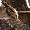 Male Great Horned Owl