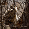 This Great Horned Owlet fledged overnight.  I last saw him in the hollow of the tree nest last night at about 6:30pm and I was notified that he was out of the nest having fledged between the time I left him/her and about 8:30am this morning.  By estimate, he fledged on day 50 after hatching.