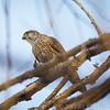 Immature Prairie Falcom with small bird prey