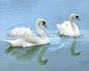 Swans - 8 x 10