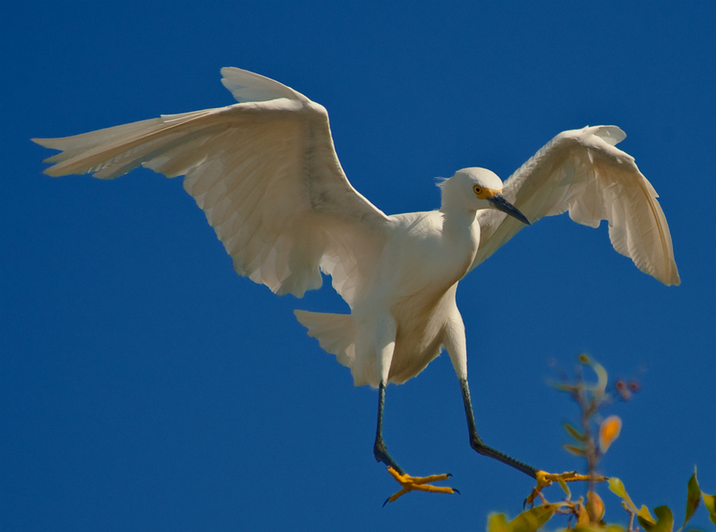 Snowy egret in landing mode