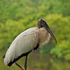 Woodstork in rain