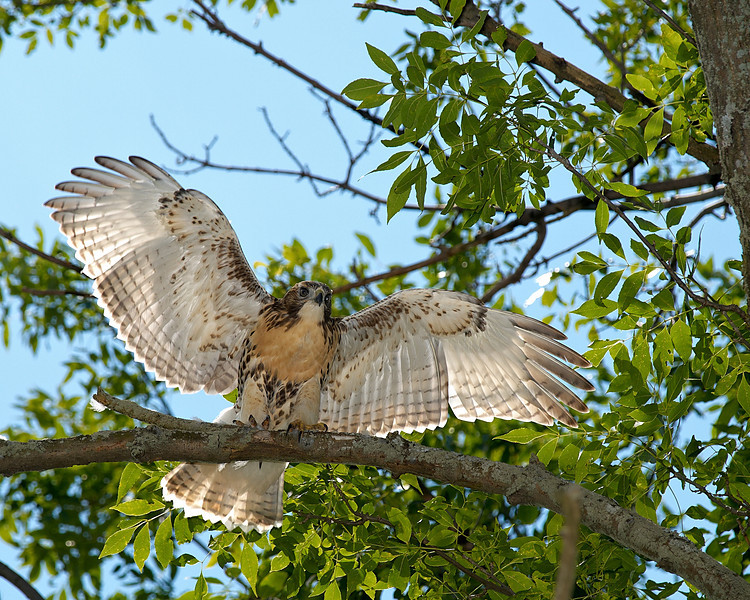 Almost Ready - Young hawk spreading its wings - Beechwood Golf and Country Club, Niagara Falls