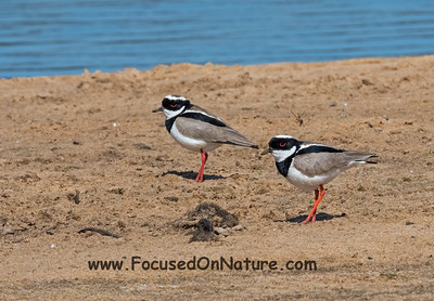 Pied Plovers