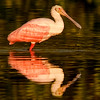 Roseate spoonbill in morning light