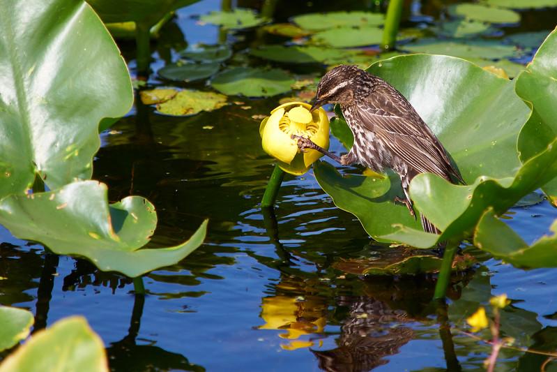 Bird on Lily