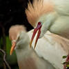A cattle egret couple