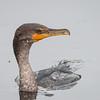 Cormorant_