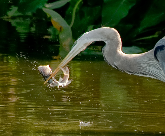 Great blue heron with a catch