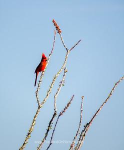Norther Cardinal Singing
