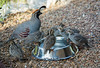 Gambel's Quail Family at the Watering Hole