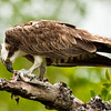 Osprey with a fish meal
