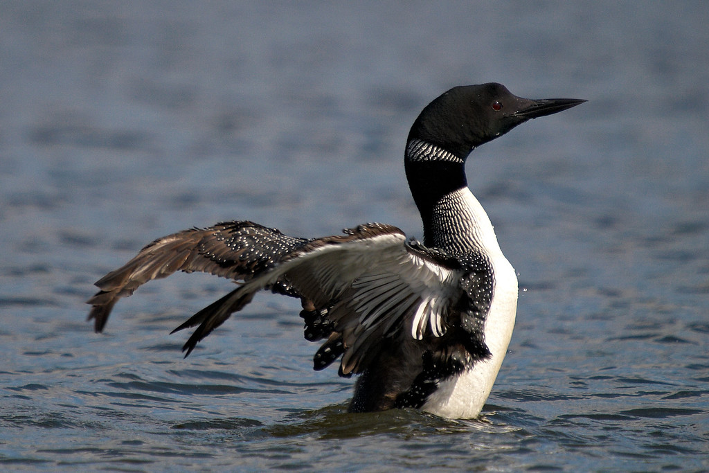 Wild Loon - Loon flapping wings - West Arm of Nipissing