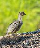 Gambel's Quail Chick