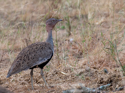 Buff-crested Bustard