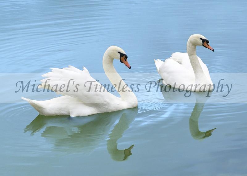 Swans - 5 x 7