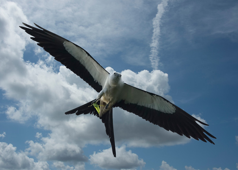 _DLS7878 Swallow Tail Kite